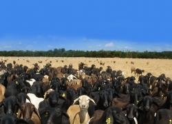 A importância das ovelhas para manutenção das landscape: pode o modelo europeu servir de inspiração para o Brasi?