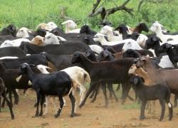 Publicação analisa tendência de crescimento dos rebanhos de caprinos e ovinos no país